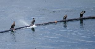 Gang of Cormorants. `Dude, that fish defiantly didn`t agree with you Royalty Free Stock Images
