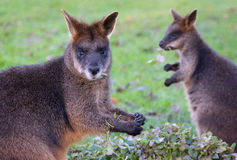 Dude, I`m eating here. A wallaby clearly annoyed by the fact it`s got distracted from his meal Royalty Free Stock Photo