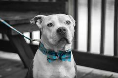 Dude and his Bow Tie. Dude looking good in his blue plaid bow tie. A true business professional Royalty Free Stock Images