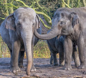 Dude, there`s something in your ear. An elephant with his trunk in another elephant`s ear Royalty Free Stock Photos