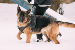 Dueño de Dog Walking Near del pastor alemán durante el entrenamiento Estación del invierno Imagen de archivo