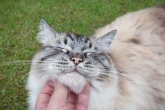 Dueño de Ragdoll Cat Being Fussed Stroked By Imagenes de archivo