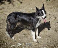Dueño entrenado del perro Imagen de archivo