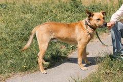 Dueño femenino amistoso que alimenta el perro marrón lindo, perro mezclado de la raza encendido Foto de archivo