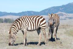 Due adulti della zebra che pascono in una carestia hanno seccato il campo Immagine Stock Libera da Diritti