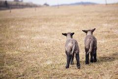 Due agnelli del bambino che camminano insieme Fotografia Stock