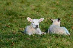 Due agnelli del bambino nel campo Immagini Stock
