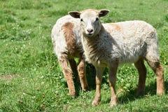 Due agnelli graziosi sul pascolo Immagine Stock Libera da Diritti