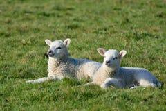 Due agnelli nel campo Immagine Stock