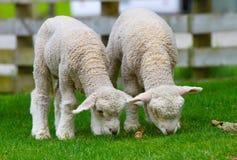 Due agnelli svegli fotografie stock