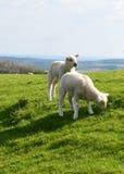 Due agnelli svegli Immagini Stock