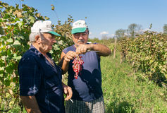 Due agricoltori anziani che parlano dell'uva durante la raccolta in valle verde Fotografia Stock Libera da Diritti