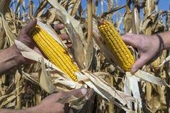 Due agricoltori che tengono la pannocchia di granturco a disposizione nel campo di grano fotografie stock