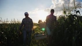 Due agricoltori portano il cereale in una scatola di legno al tramonto video d archivio
