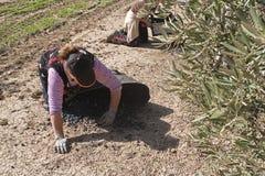 Due agricoltori scaricano le olive in un mucchio sul pavimento Immagini Stock