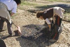 Due agricoltori scaricano le olive in un mucchio sul pavimento Fotografia Stock Libera da Diritti