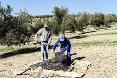 Due agricoltori scaricano le olive in un mucchio sul pavimento Immagini Stock Libere da Diritti