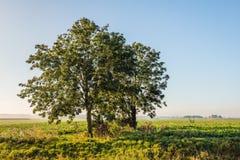Due alberi alla luce solare di primo mattino Fotografia Stock Libera da Diritti