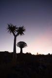 Due alberi del fremito con il tramonto Fotografie Stock