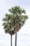 Due alberi della palma da zucchero Fotografia Stock
