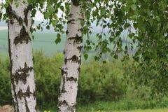 Due alberi di betulla immagini stock
