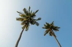 Due alberi di noce di cocco Immagini Stock