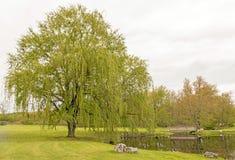 Due alberi di salice piangente Immagine Stock Libera da Diritti