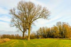 Due alberi differenti intrecciati in a vicenda Fotografia Stock