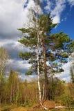 Due alberi nel legno della sorgente Fotografia Stock