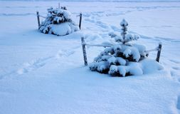 Due alberi in neve Immagine Stock