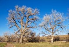 Due alberi nudi maestosi da un percorso Fotografia Stock