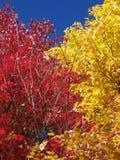 Due alberi variopinti nella stagione di caduta immagini stock