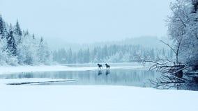 Due alci sul lago Fotografia Stock
