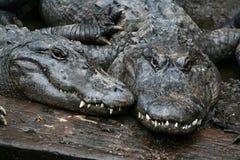 Due alligatori Fotografia Stock