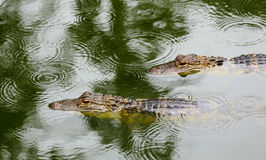 Due alligatori in acqua verde nella pioggia con pioggia circonda Immagine Stock