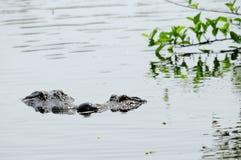 Due alligatori che si incontrano nelle zone umide Immagine Stock Libera da Diritti