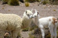 Due Alpacas Fotografia Stock