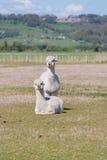 Due alpacas bianchi Immagine Stock Libera da Diritti
