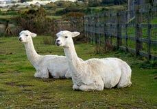 Due Alpacas che si trova giù Immagini Stock Libere da Diritti