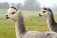 Due Alpacas nel profilo Fotografie Stock