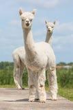 Due alpache peruviane in zoo olandese Fotografie Stock Libere da Diritti