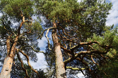 Due alti pini contro il cielo blu Fotografia Stock