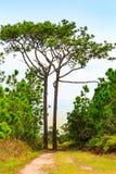 Due alti pini sul modo in alta montagna Immagini Stock Libere da Diritti