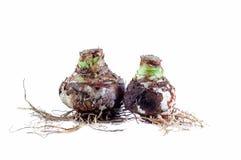 Due Amaryllis Mix Bulbs con le radici Immagini Stock