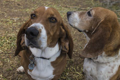 Due amici di basset hound fotografie stock libere da diritti