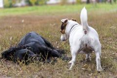 Due amici: Terrier del Cocker e terrier di Jack russell che gioca sull'erba in un parco in autunno immagini stock libere da diritti