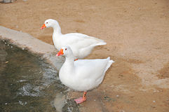 Due anatre arabe bianche Fotografia Stock Libera da Diritti