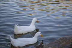 Due anatre bianche Fotografia Stock