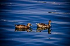 Due anatre che galleggiano sulla superficie dell'acqua blu Fotografia Stock Libera da Diritti