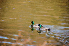 Due anatre che nuotano Fotografia Stock Libera da Diritti